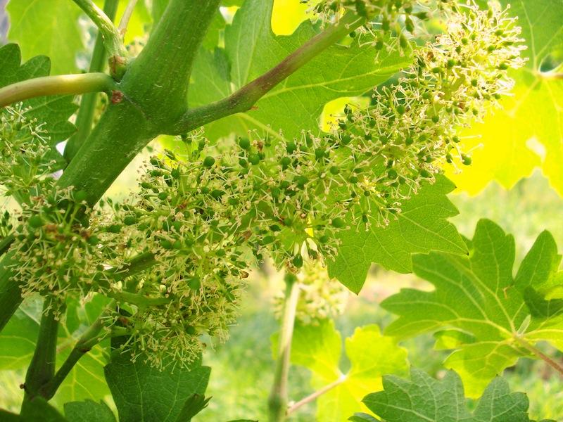 Grape Cluster in Flowering Stage, Altos Las Hormgias Harvest 2012