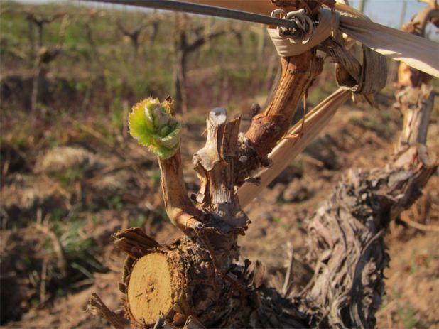 Bud Break 2011, Harvest, Altos Las Hormigas