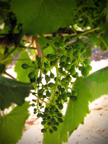 Fruit Set Altos Las Hormgias, Mendoza, Argentina