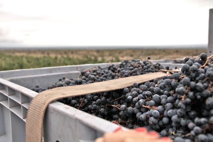 Altos Las Hormigas Harvest 2012. Dyonisos Vineyard, Vista Flores, Uco Valley, Mendoza, Argentina.