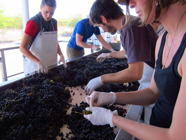 Altos Las Hormigas Harvest 2012. Sorting Table. Mendoza, Argentina. Malbec.