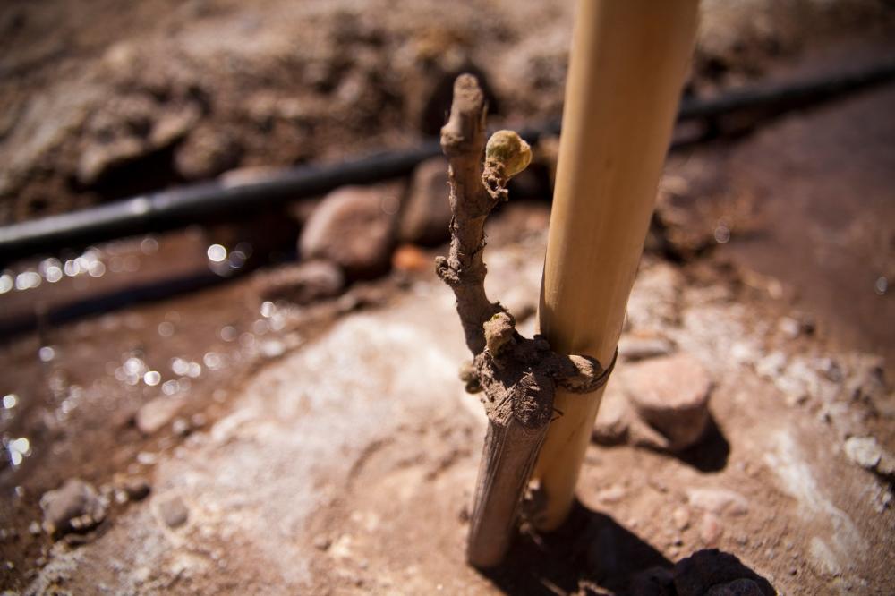 New Malbec Plant, Vineyard Altos Las Hormigas, Mendoza, Argentina