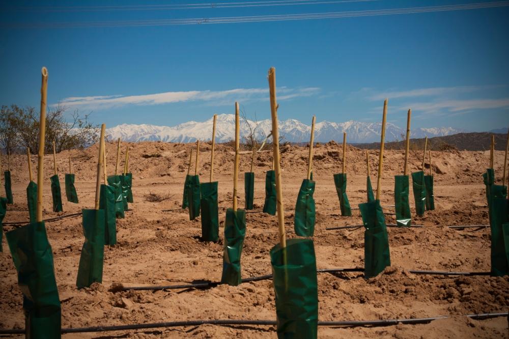 New Biodynamic Malbec Vine at Altos Las Hormigas, Mendoza, Argentina